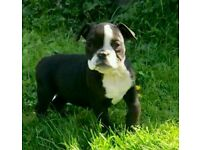 Old time bulldogge puppies ready now