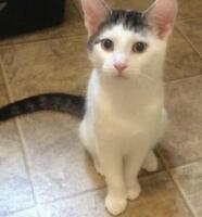 """Young Male Cat - Domestic Short Hair - gray and white: """"Sammy"""""""