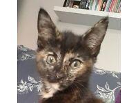 11 week old female kitten £50