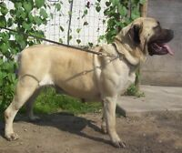 We are expecting 2 litters of CKC reg'd English mastiff puppies