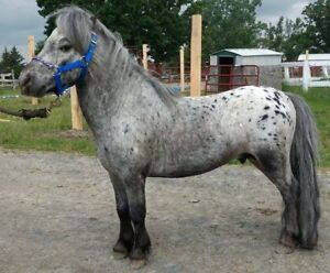 TRIPLE REGISTERED MINIATURE APPALOOSA STALLION