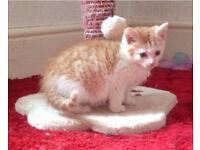 Lovely Female Ginger Tabby Kittens