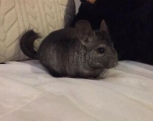 7 month old female black chinchilla