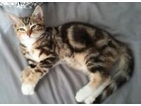 Missing brown tabby tortoiseshell kitten