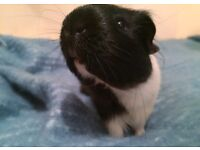 Male Guinea pig 20 months