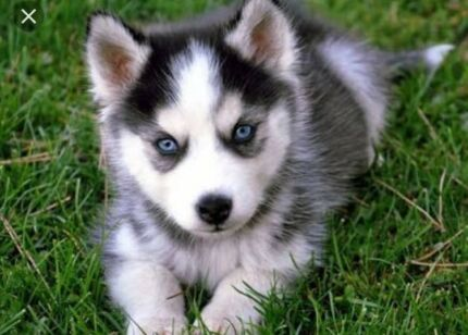 Wanted: Looking for husky or German shepherd puppy for mid 2018?