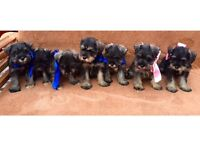 Salt and pepper Miniature German schnauzer puppys ready to leave