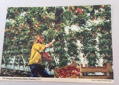 Vintage Hanging Strawberry Farm Postcard, Guernsey Channel Islands VGC 99P