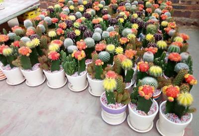 100PCS Mix Seeds Cactus Rare Succulents Plants Home & Garden Evergreen (Evergreen Mix)