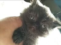 Black Persian kitten for Christmas gift