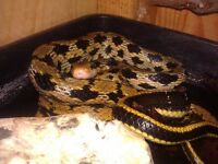 Adult female Taiwanese beauty snake