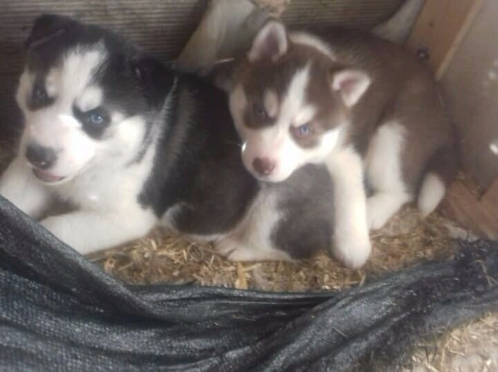Siberian Husky Puppies Black And White Blue Eyes 1 Female Available