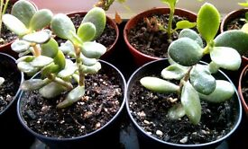 Small crassula ovata or jade / money plant