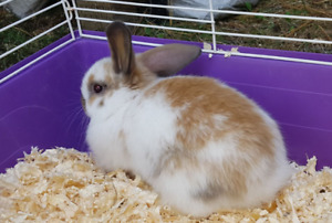 Purebred Holland lop baby bunny 8 weeks old
