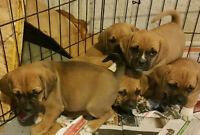 Pug x Beagle Pups