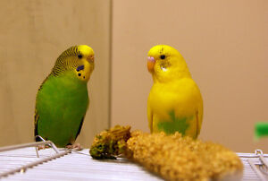 Birds for sale a pair of beautiful young budgies $25