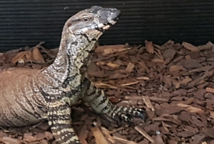 LACE MONITOR PAIR & ENCLOSURE READY TO BREED | Reptiles ...Lace Monitor Enclosure