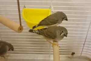 Zebra Finch babies (all birds are spoken for and the cage)