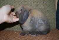 Show Quality Holland Lops (pedigreed, choc carrier) Bunny rabbit