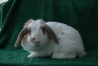 Adult female Holland Lop rabbit for sale!