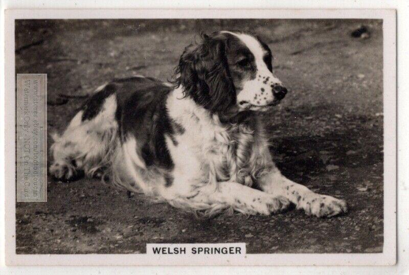 Welsh Springer Spaniel Dog Canine Pet Animal 1930s Trade Ad Card