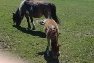 "Miniature Mare &  Foal   "" Sable"