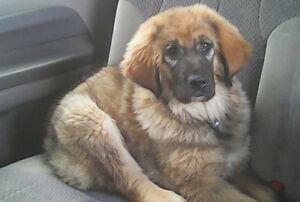 Tibetan Mastiff cross ** one female left *