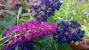 Dwarf Buddleia Buzz ~ Velvet ** Buddleja ** Scented flowers