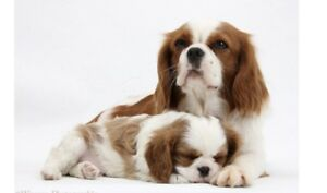 Looking for girl Blenheim cavalier King Charles