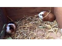 2 male and 3 female Guinea pigs for sale