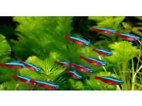 NEON TETRAS - Tropical fish for sale