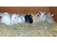 Rabbits bunny lop male 9 weeks old