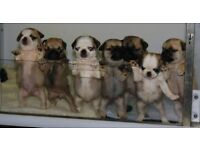 beautiful pugs for sale
