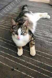 """Young Female Cat - Calico-Tabby: """"Amber"""""""