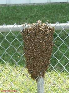 Bee Swarms Removed Free Cessnock Cessnock Area Preview