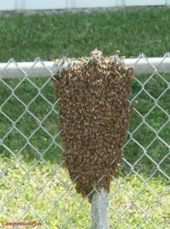 Wanted: Bee Swarms Picked Up Free