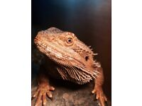 Bearded Dragon with Vivarium £100 ONO