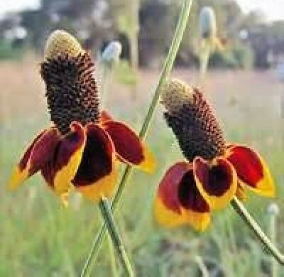 MEXICAN HAT FLOWER 100 FRESH SEEDS FREE USA SHIPPING  Free Flower Seeds