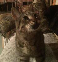 "Young Male Cat - Tabby - Grey: ""ZZ: Morgan"""