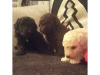 Poochon puppys,..bichon poodle