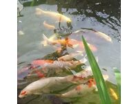 Pond fish re homing service