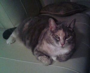 Beautiful, affectionate, calm and gentle female cat