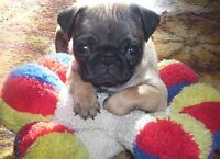 Pug Puppies!! Viewings start Sat Aug 29th