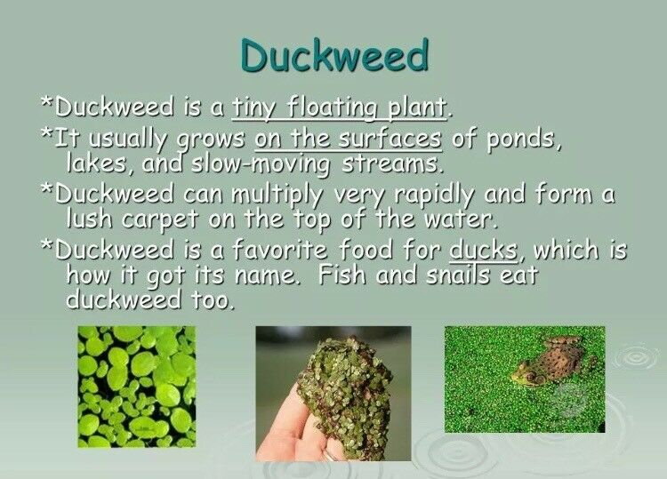 how to grow duckweed in a pond