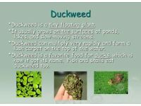 Duckweed / Lemnar Minor- Top Floating Pond plant-Tropical-Cold water-