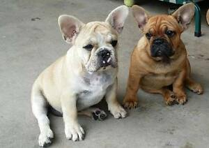 Purebred French Bulldog with Pedigree Holden Hill Tea Tree Gully Area Preview