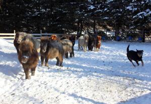 Chevaux cheval miniature horse docile affectueux