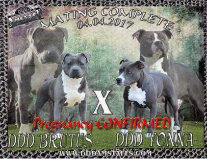 American Staffordshire Terrie (AMSTAFF) male pup