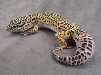 Leopard Gecko with Full Setup- Can Deliver