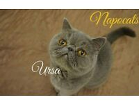 Exotic Shorthair Blue Girl, 3y old, PKD free, neutered